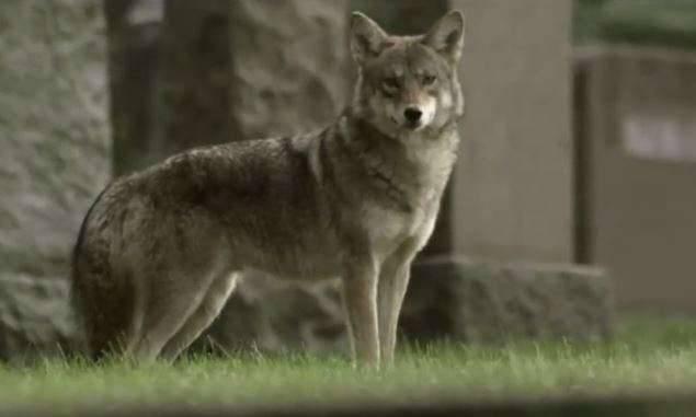 Egy új hibrid farkasfajta fenyegeti New York külvárosainak lakóit