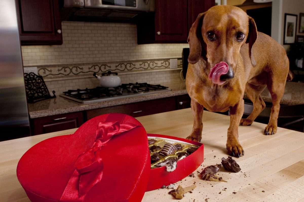 Karácsonykor gyakori a kutyák csokoládémérgezése