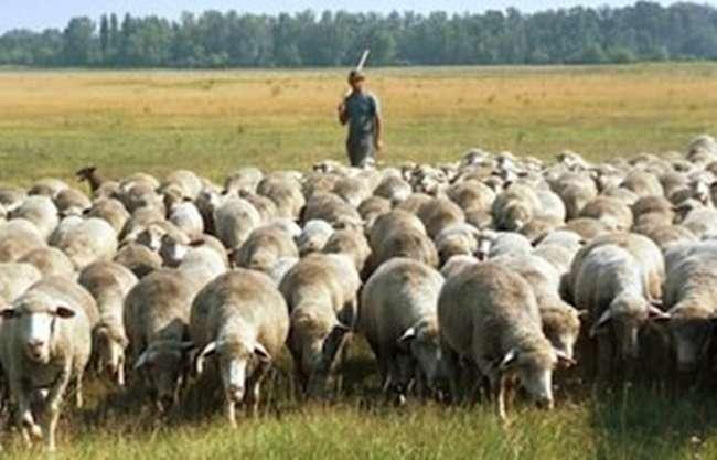 A juhászokat elűznék, birkáikat vágóhídra küldenék az államtitkár vadászai