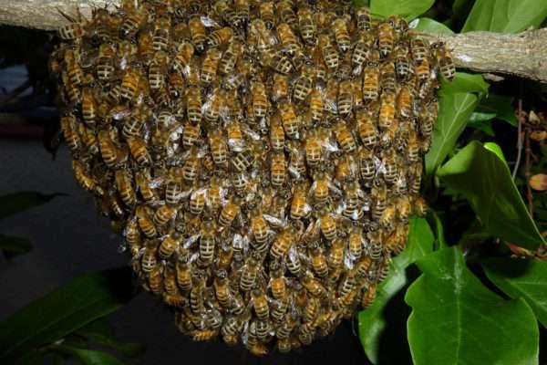 Méh labda