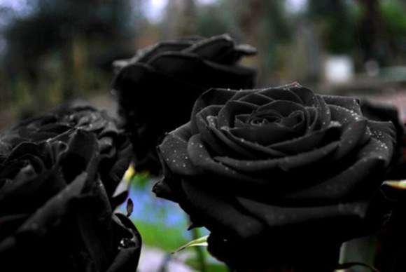 fekete-rózsa