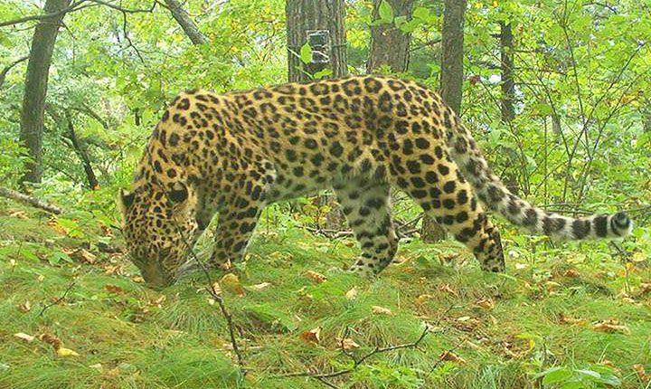 amuri leopárdok