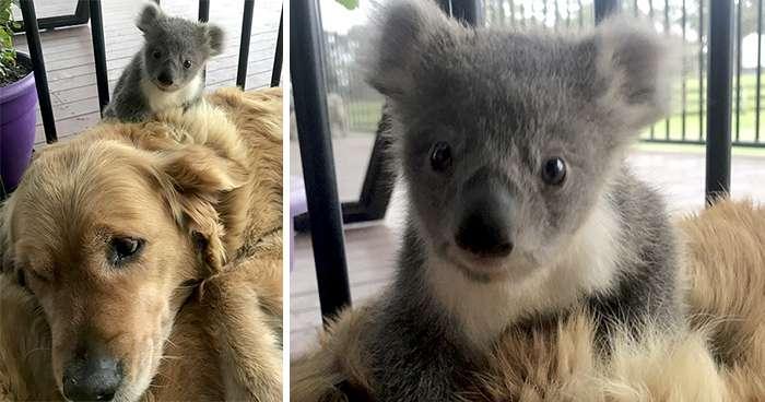 Asha és a koala