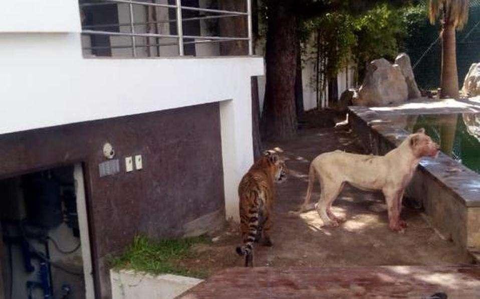 oroszlán, tigris a kertben