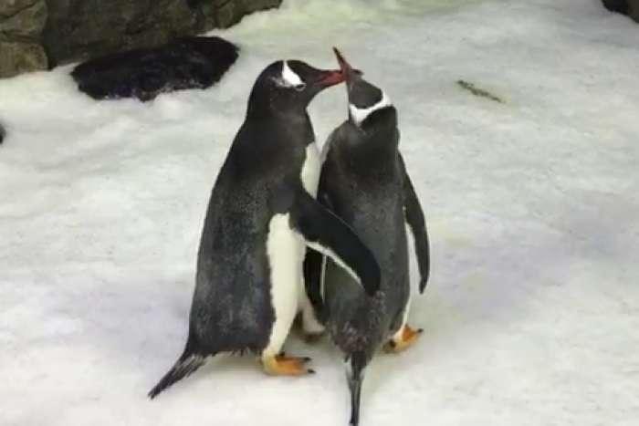 két meleg pingvin