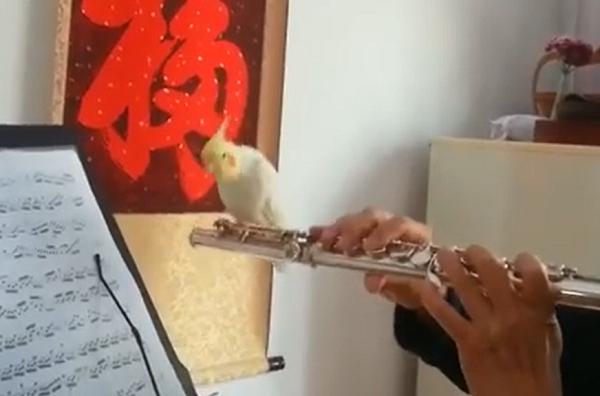 a papagáj fuvolázik