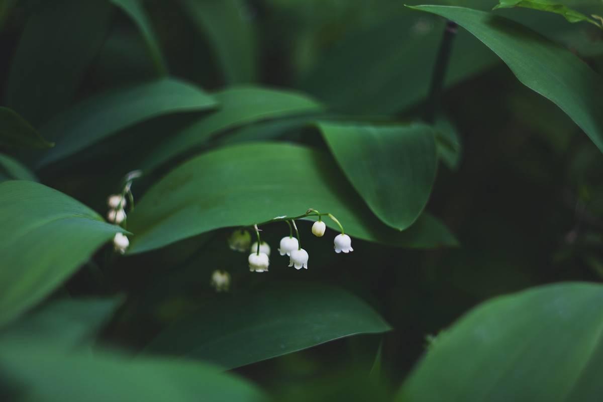 csillagjegy, tavasz, gyöngyvirág