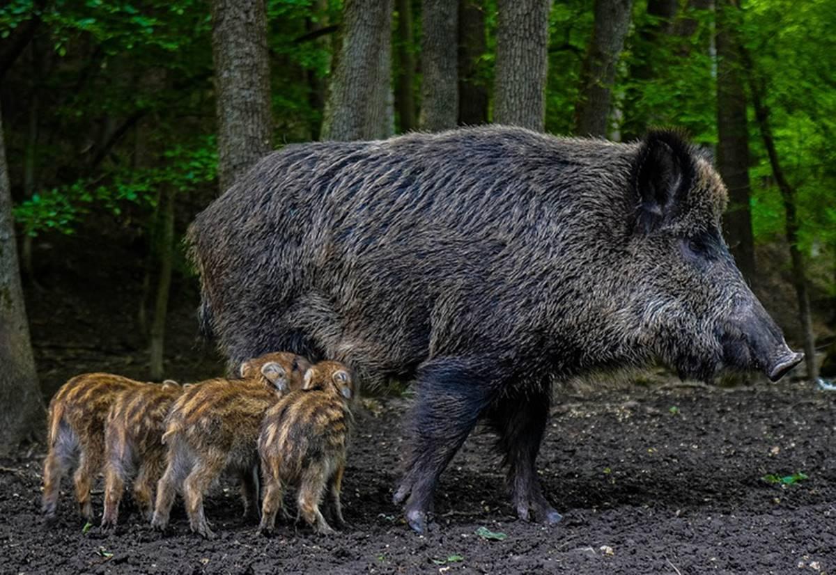 Félelem és reszketés Balatonfűzfőn - Éjszaka a vaddisznók jelentik a kijárási tilalmat